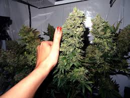 best marijuana strains to grow for beginners grow weed easy
