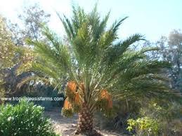 palm sunday palms for sale medjool date palm trees for sale medjool dates