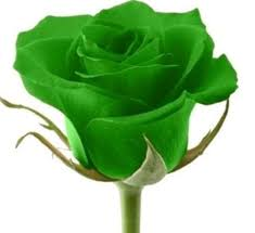 Rose Flower Images Black Rose Seeds Rare Amazingly Beautiful Black Rose Flower 12