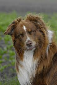 australian shepherd or border collie 1451 best australian shepherd images on pinterest aussies dog