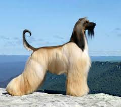 afghan hound least intelligent afghan dogs of the world pinterest afghans afghan hound and dog
