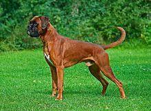 boxer dog white boxer dog wikipedia