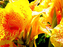 Cana Lilly Canna Lily Is My 9 In The Top Ten Heat Resistant Plants Tj U0027s
