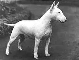 american pitbull terrier size chart bull terrier wire basket dog muzzles size chart bull terrier