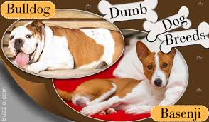 top 10 dumbest dog breeds ever and you thought they were clever