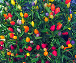 ornamental peppers guide the bold and the colorful pepperscale