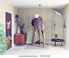 in the livingroom giraffe breaks ceiling living room photo stock photo 475973947
