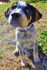 bluetick coonhound beagle so cute love the coloring on this beagle mix baby animals