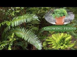 how to grow ferns ornamental plants growing ferns