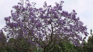 tree with purple flowers jacaranda trees with purple flowers against blue sky stock footage