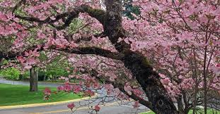what are the best trees to plant in portland northwest arbor