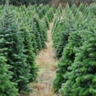 where to buy trees in el paso