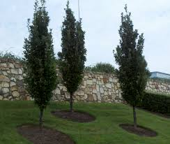 columnar plants add interest to any landscape landscaping my