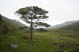 plants native to scotland a visit to scotland u0027s most westerly pinewood alan watson