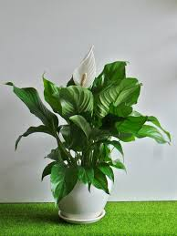 peace lily peace lily in white ceramic u2013 www daun com my
