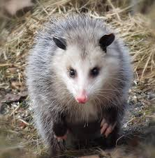 awesome possum photograph by mtbobbins photography