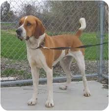 afghan hounds for adoption karl adopted dog austin mn hound unknown type st bernard mix