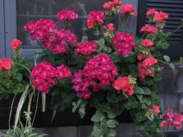 Winter Indoor Garden - 72 best geraniums images on pinterest container plants flower