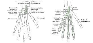 anatomy of the forearm and hand gallery learn human anatomy image