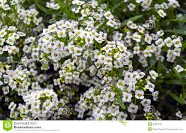 small white flowers small white flowers stock image image of many field 43461125