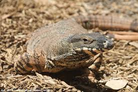 Big Lizard In My Backyard Nsw Man Finds A Monitor Lizard Climbing His Thurgoona Home Daily
