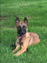 9 month old belgian malinois litter of 8 belgian malinois puppies for sale in imperial beach