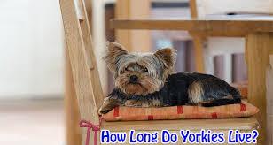 australian shepherd yorkie how long do yorkies terriers usually live by dogmal com