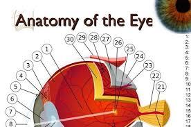 Anatomy Of The Eye Anatomy Of The Eye Medical Estudy
