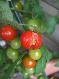 top 5 vegetable crops for beginners gardens