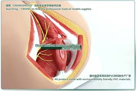 Male Anatomy Perineum Model Model Jacket Picture More Detailed Picture About Cmam