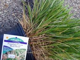 new armored scale insect pest of ornamental grasses found in