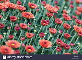 mums flower mums flowers stock photos u0026 mums flowers stock images alamy