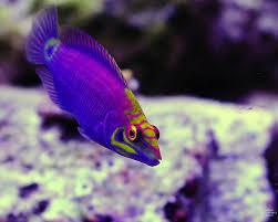 mystery wrasse saltwater fish pinterest aquariums saltwater