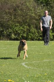 belgian shepherd vs rottweiler belgian malinois try before you buy positive police dogs