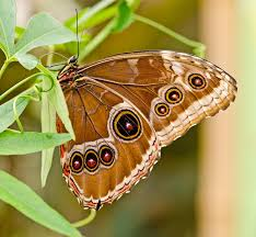 owl eye butterfly photograph by chris thaxter