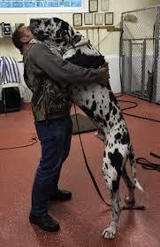 belgian sheepdog massachusetts massachusetts dog training certified master dog trainer david