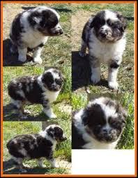 australian shepherd 6 weeks old paris u0027s spring litter 3 pup1 blue eyed blue merle harlequin male
