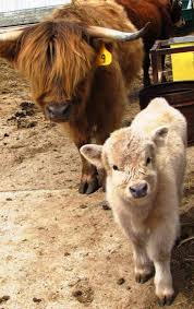 88 best cows and calves images on pinterest animals farm