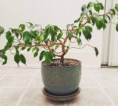 ficus benjamina weeping fig our house plants