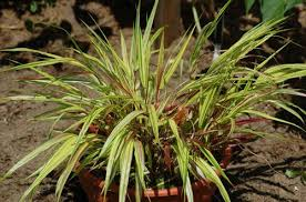 deer resistant ornamental grasses