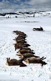 Wyoming how long does it take for mail to travel images Wyoming wolves attack and kill 19 elks in one night in 39 sport jpg
