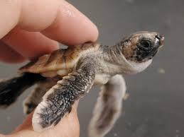 Texas Map Turtle Magnetic Map Smart Swimming Help Loggerhead Turtles Survive