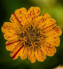 Zinnia Flowers Zinnia Flower Varieties Colorful Easy Fast Growing Old