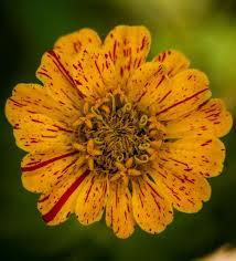 Zinnia Flower Zinnia Flower Varieties Colorful Easy Fast Growing Old