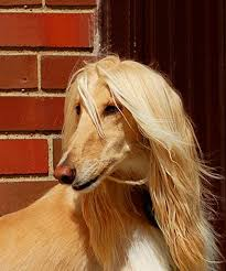 does an afghan hound shed the itchy truth about hypoallergenic dogs