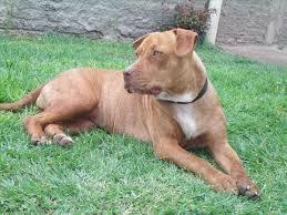 american pitbull terrier blue purebred red nose american pitbull terrier dog and cat