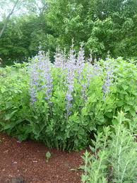 native plant landscaping baptisia australis a perennial for today u0027s landscape