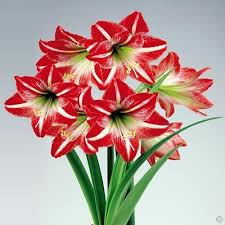 amaryllis flowers buy your amaryllis minerva cheap online at bulbsdirect free delivery