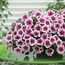 petunia flowers raspberry opera supreme petunia flowers and bulbs veseys