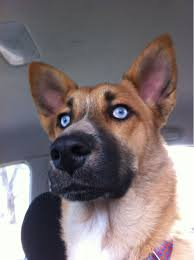 belgian shepherd x rottweiler our husky red wolf mix pics